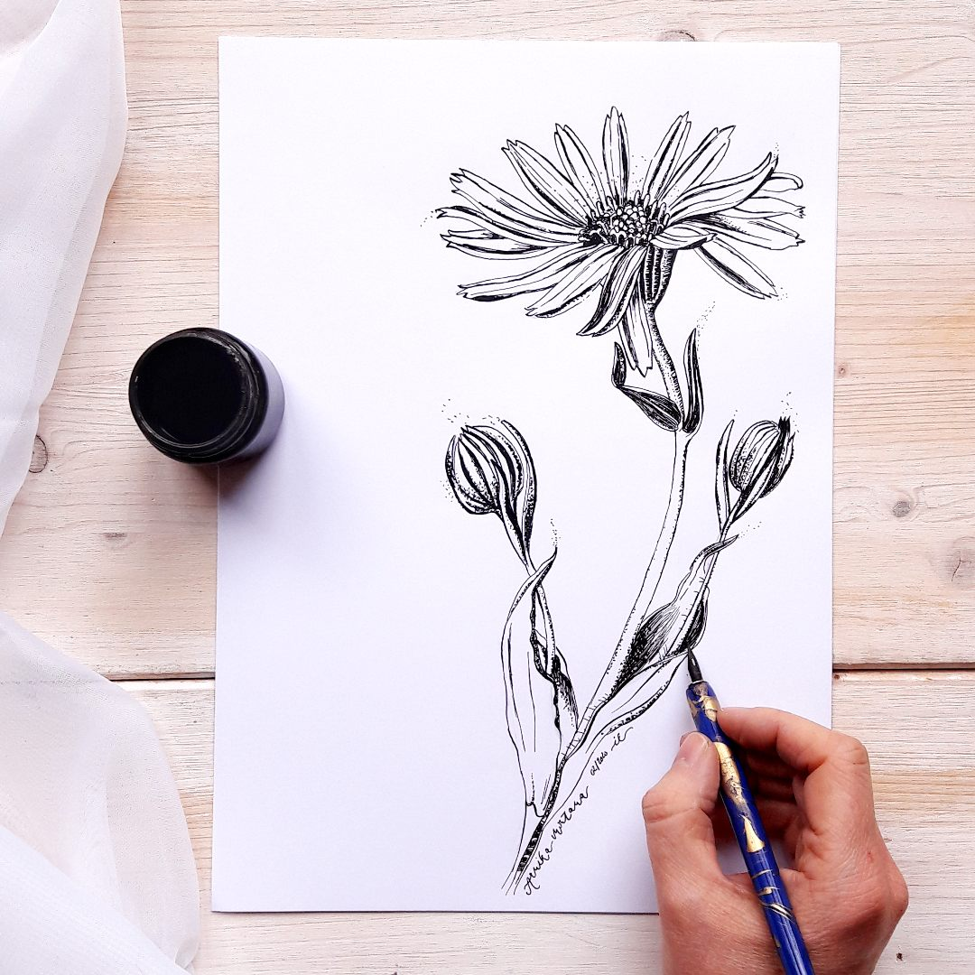 Botanical Illustration Ink Nib Tusche Feder arnika Arnica montana irmalinkartist